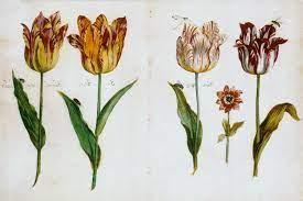 picture of tulips, eg. tulip bubbles